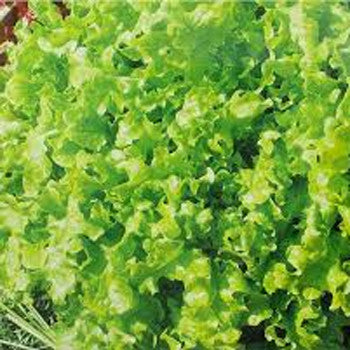 Lettuce Green Leaf