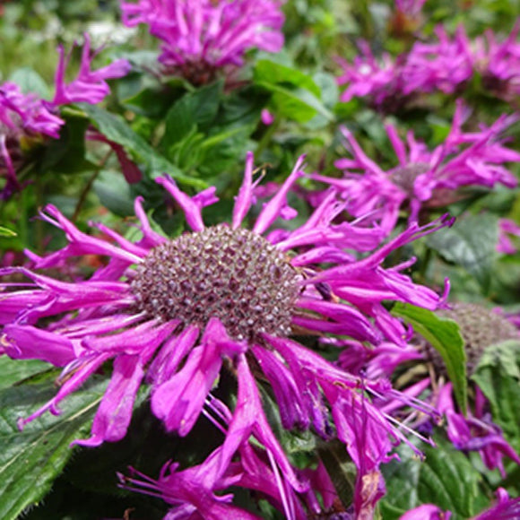 Monarda Pocahontas Purple Rose
