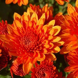 "Fall Garden Mums Medium (11"" container)"