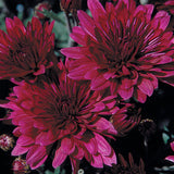 "Fall Garden Mums Large (16"" container)"