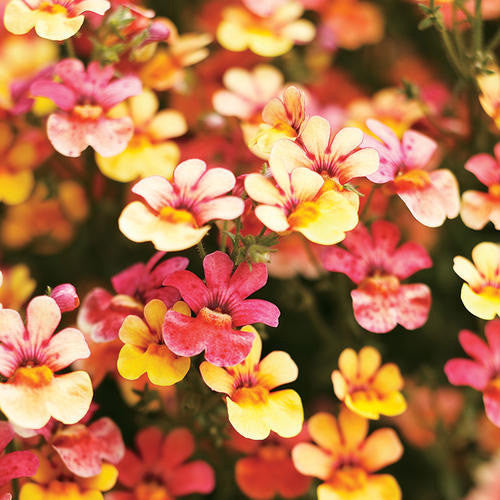 Nemesia Juicy Fruits Kumquat