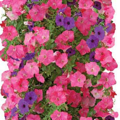 petunia-bag-of-bloom