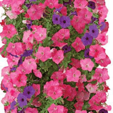 Petunia Bag of Bloom