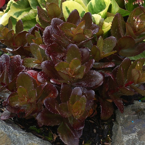 Sedum Candy Chocolate Drop