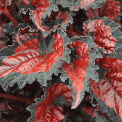 Rex Begonia Shadow King