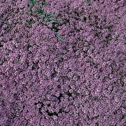 Thymus Mother of Thyme