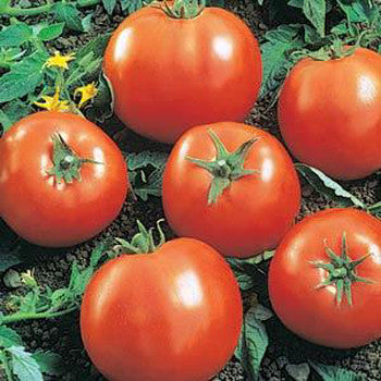 Tomato Big Beef 6 Pack