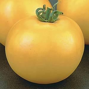 Tomato Lemon Boy - Pot