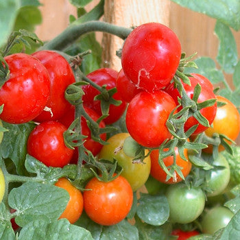 Tomato Tiny Tim 6 Pack