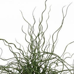 Grass Juncus ColorGrass® Twister