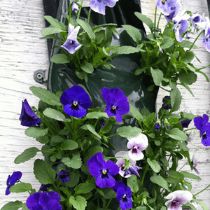 pansy-bag-of-bloom