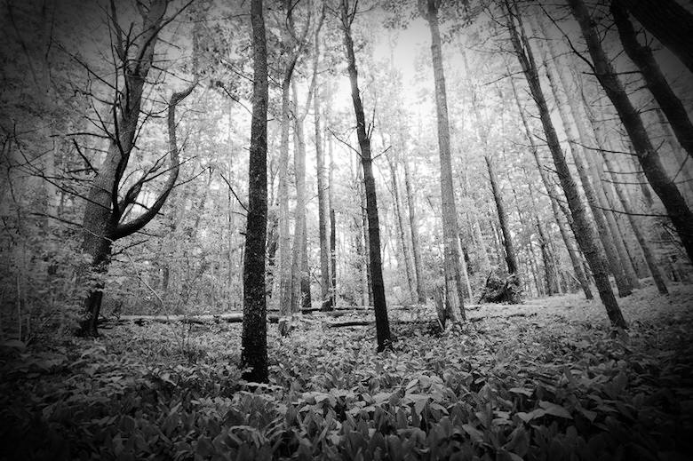 Black and White image of Robinson Woods, a supposedly haunted forest near Chicago, Illinois