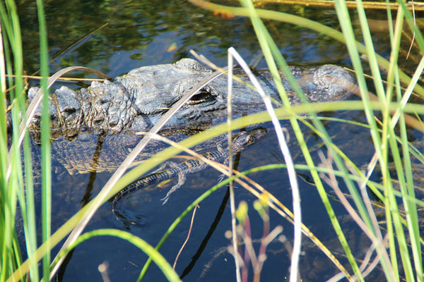 An adult and baby crocodile in the water at Everglades National Park, Florida