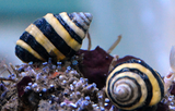 Bumble Bee Snails