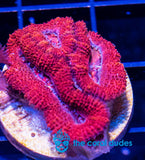 "TCD ""THE FLASH"" ACAN HEADS GET HUGE"