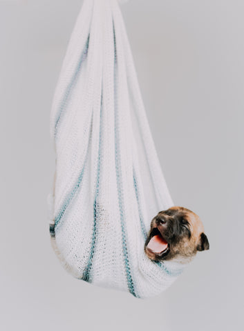 A pug wrapped in a white blanket