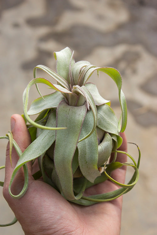 "Top Pick ""must have"" if you love Air plants (Tillandsia)"