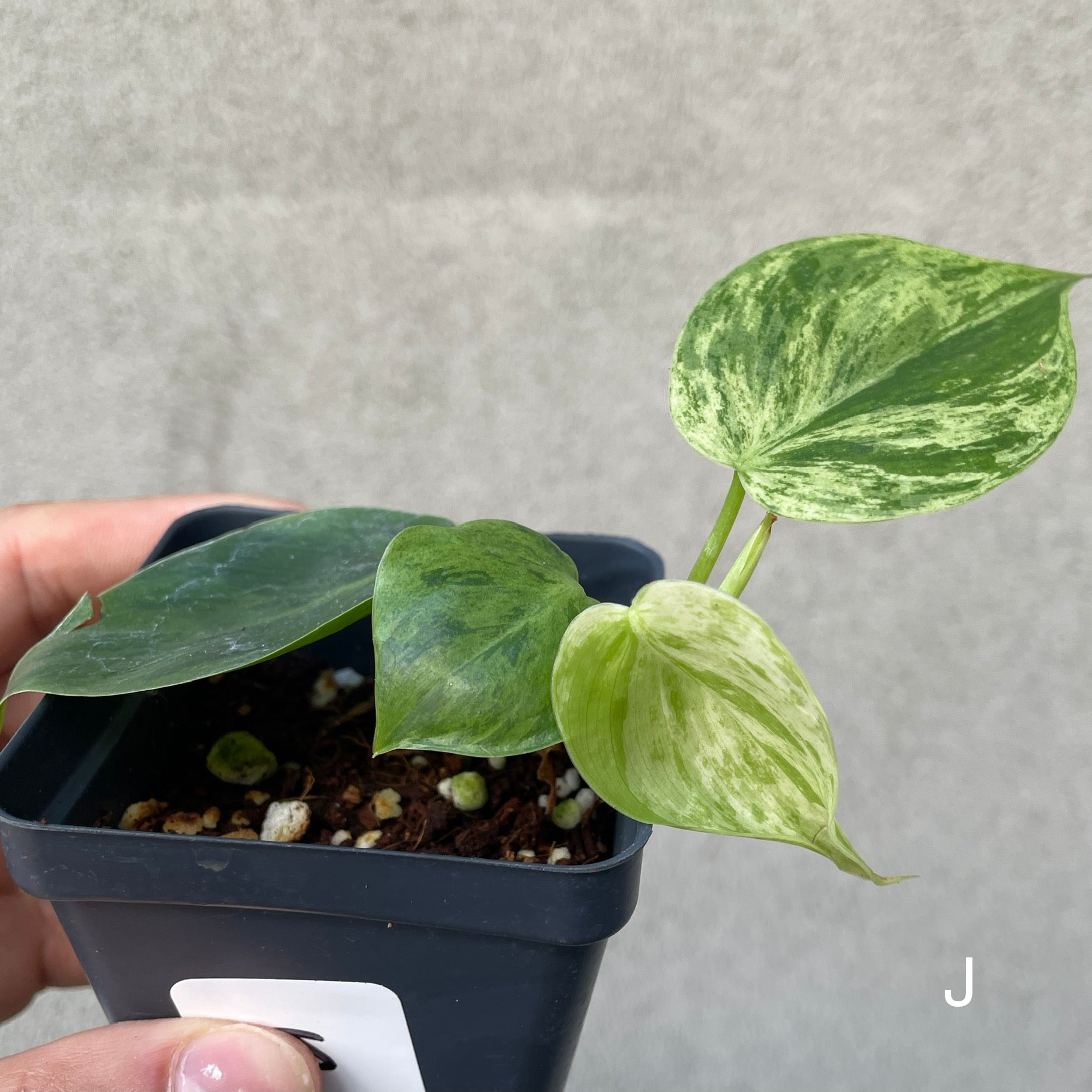 PHILODENDRON HEDERACEUM (VAR) - 0504