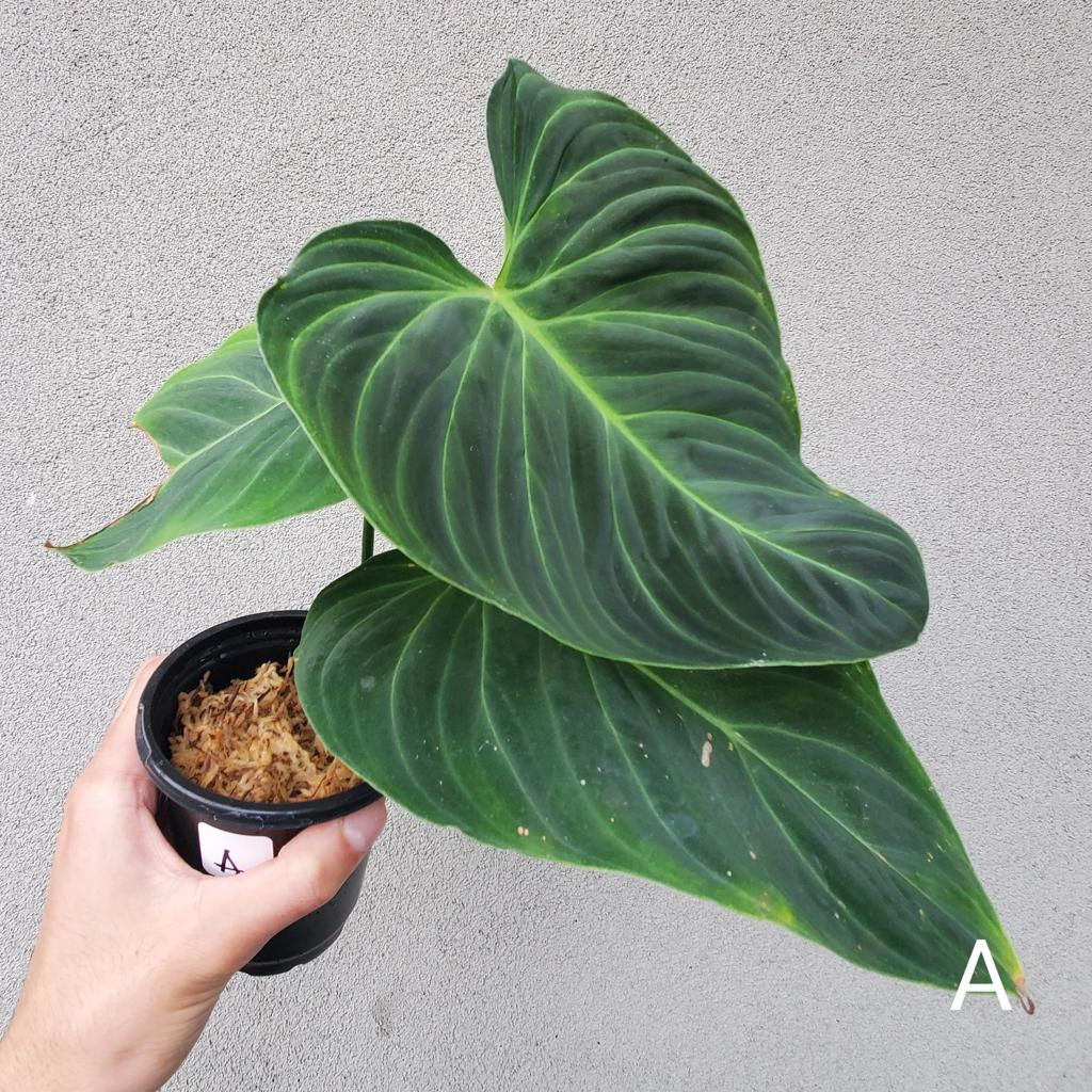 PHILODENDRON SPLENDID - 0409
