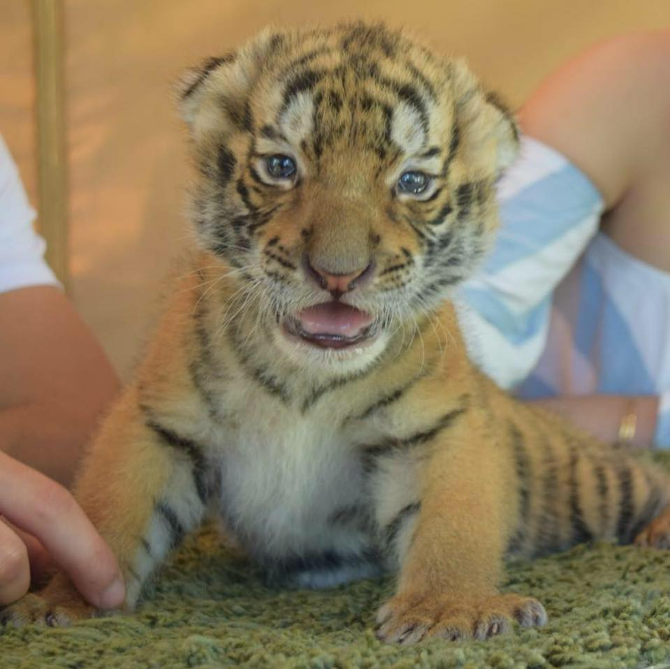 Private Animal Encounters for 2 - Big Cat Cub