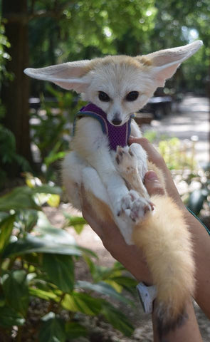 Animal Encounter: Fennec Fox