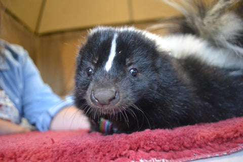 Animal Encounter:  Class B - Double Striped Skunk