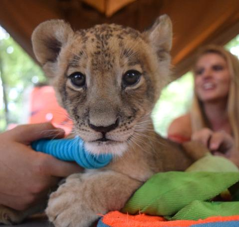 Private Animal Encounters for 4 - Big Cat
