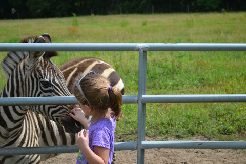 Animal Encounter:  Class A - Zebra Feeding