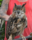Animal Encounter:  Class A - Eagle Owl
