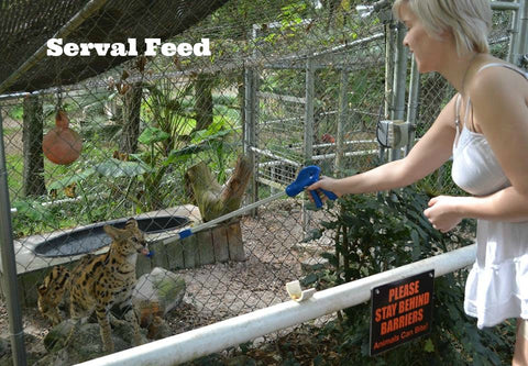 Animal Encounter:  Feed African Serval