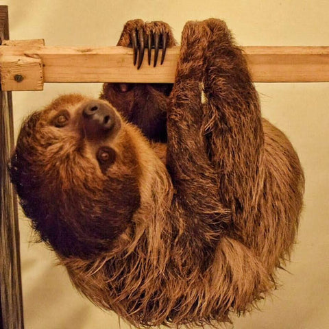 Animal Encounter:  Class A - Sloth