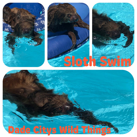 Swim with a Sloth