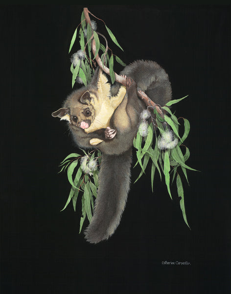 Greater Sugar Glider