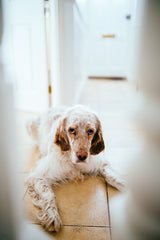 Irish Setter with Ears Down in Hallway