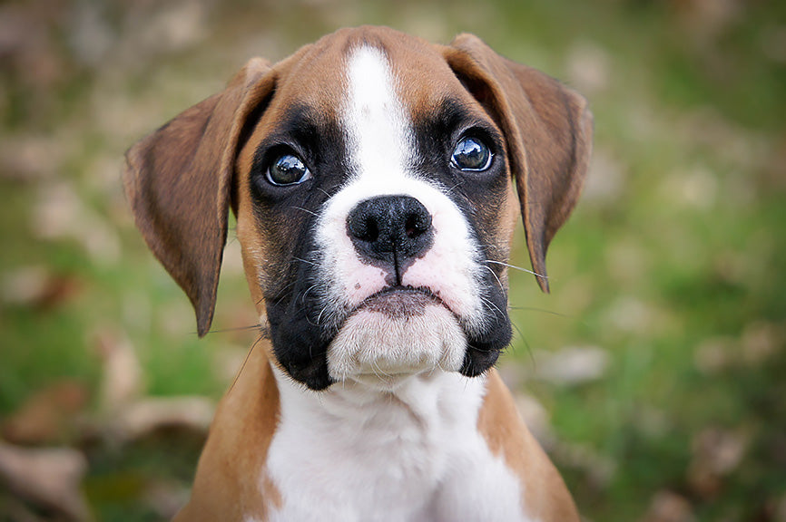 Boxer Looking Directly at You