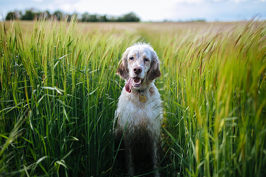 Old Dog in a tall grass field