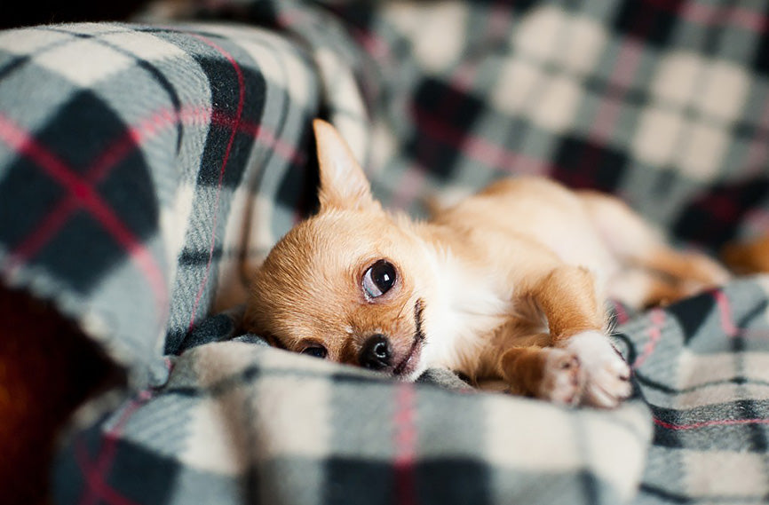 Chihuahua With One Eye Looking Up on Flannel Sheet