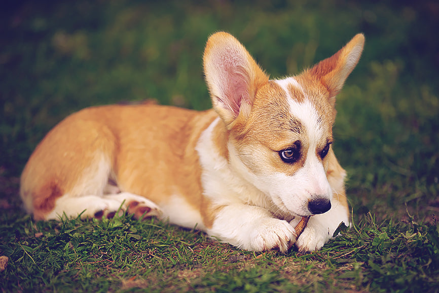 Corgi with Pointed Ears and Ear Infection