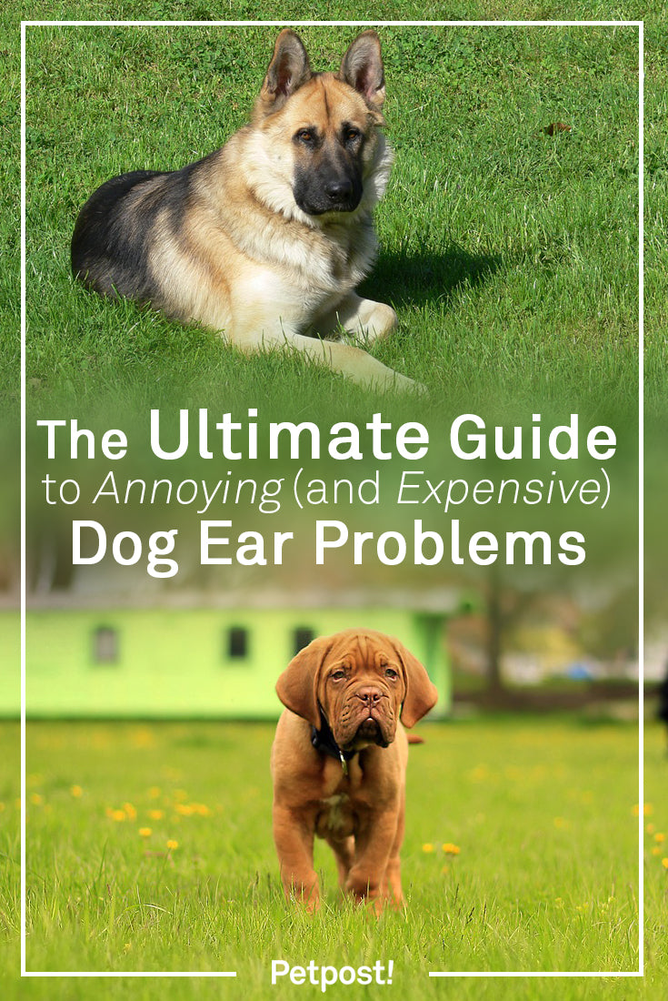 Dogs with Ear Problems