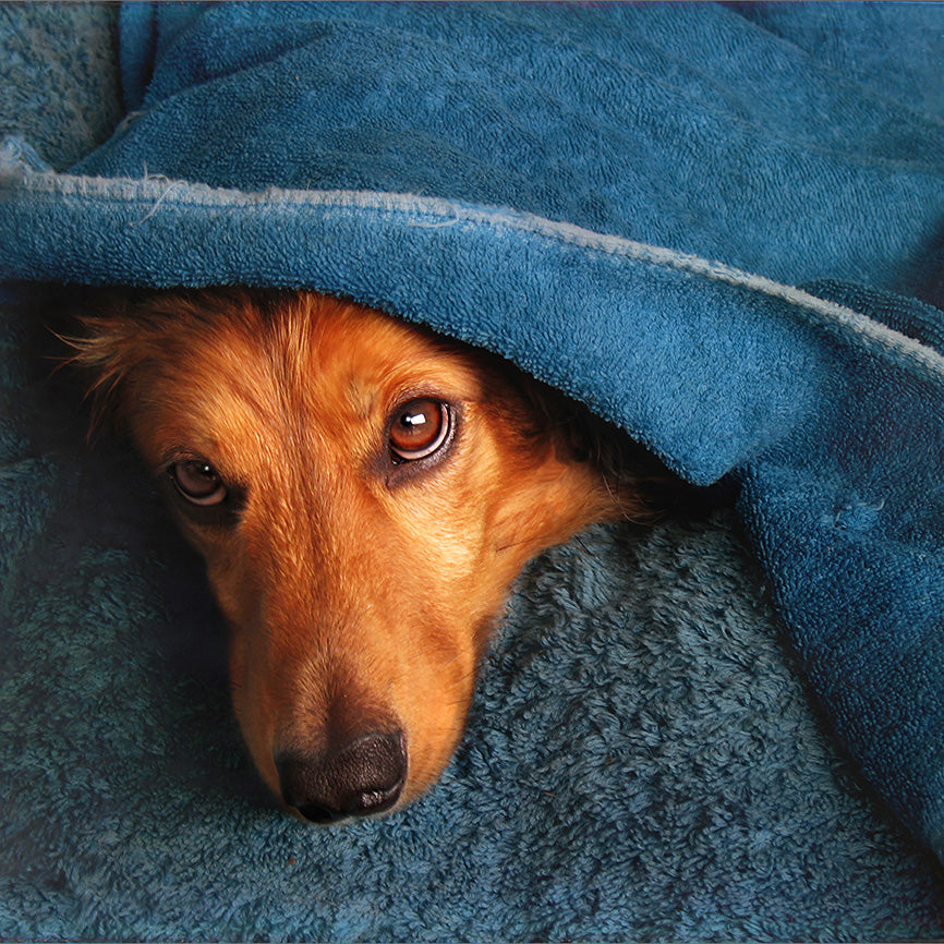 Shy Brown Dog Hiding Ears Under Blue Towel