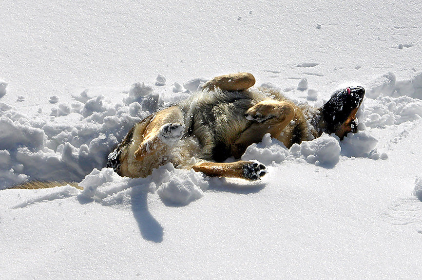 Dog Rolling Around in Snow