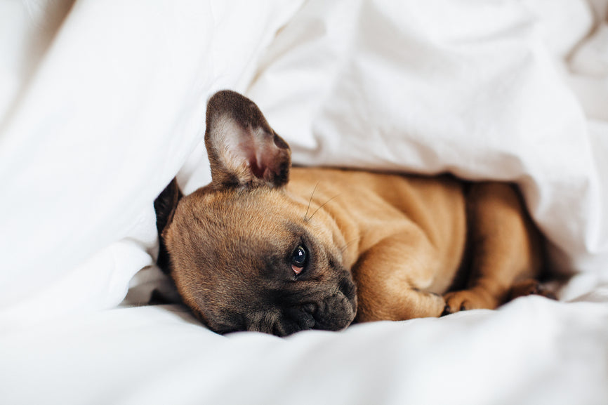 French Bulldog with Ear Problem Laying in a White Bed