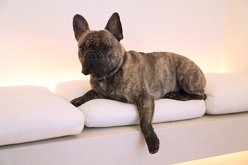 Brown French Bulldog with Ears Perked Lounging on a Couch