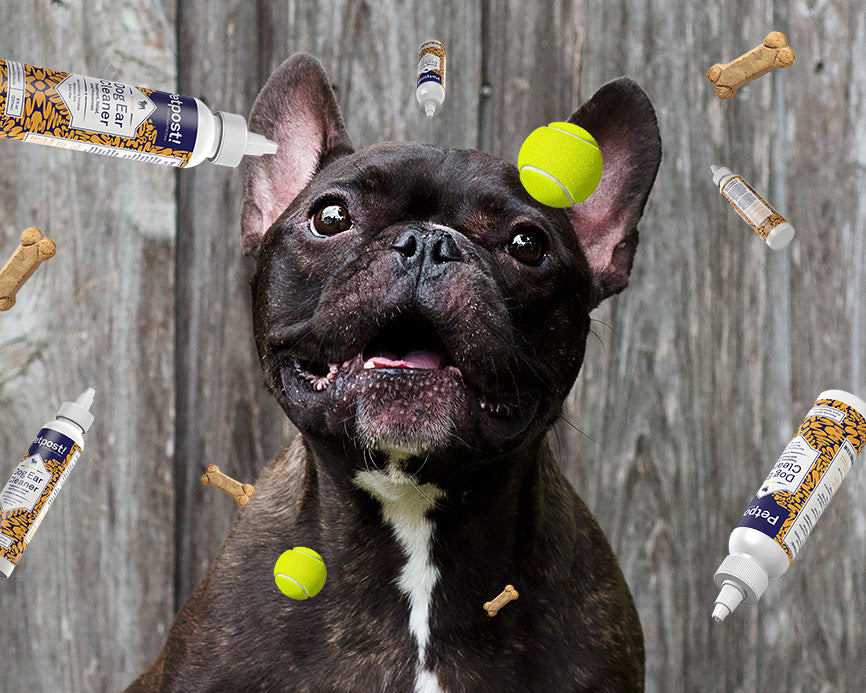 French Bulldog with Petpost Bottle Floating Around