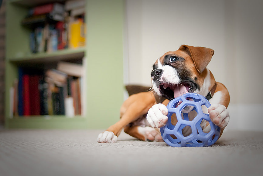 Boxer Puppy Cleaning Up his Dog Toy
