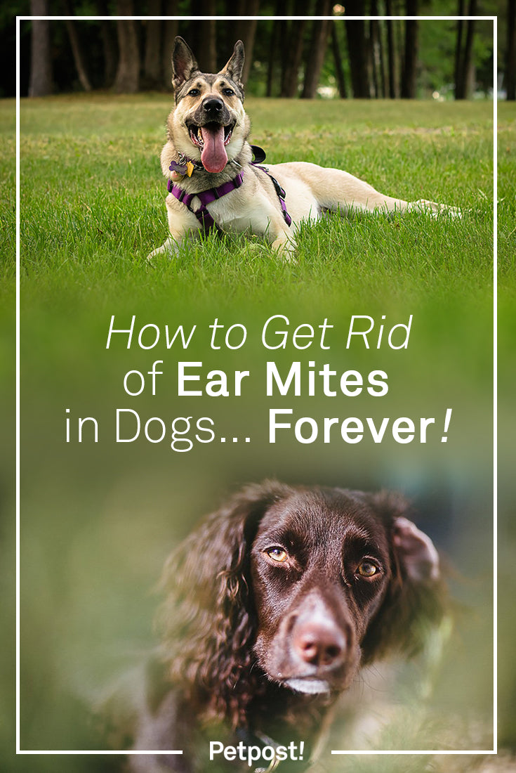 How to Get Rid of Ear Mites in Dogs