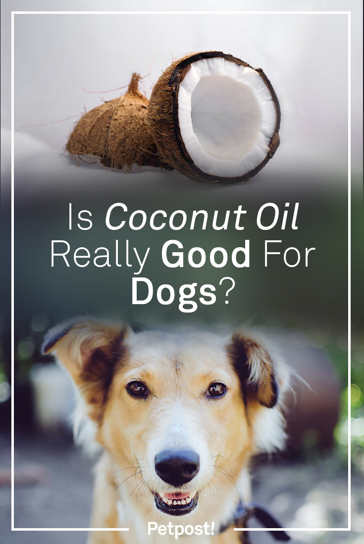 Because SitStay is all about good healthy dogs, we have many people ask us all the time about a variety of supplements for their dogs. One of the most common that comes up is coconut oil for dogs. Many of our customers want to know if coconut oil is good for dogs.
