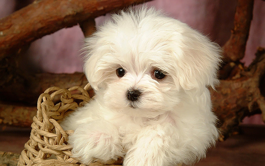 White Fur Maltese in a Basket