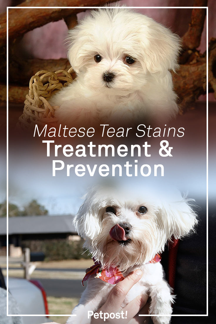 Maltese Tear Stains