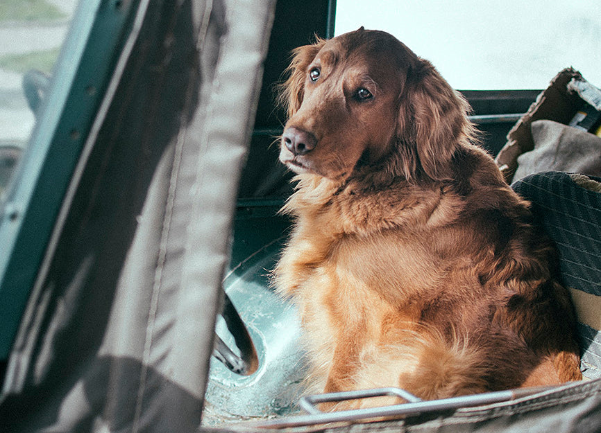 Old Dog Alone in Car